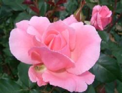 Rose04